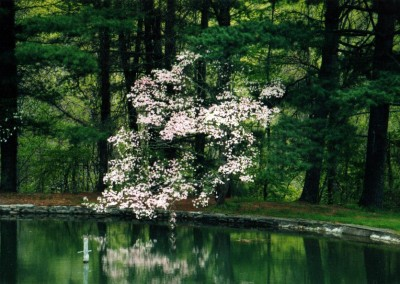 dogwood_reflection